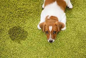 Carpet Pet Damage Chandler