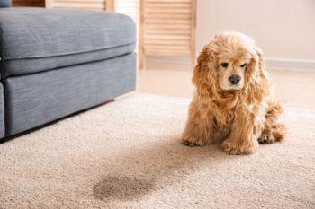 Pet Damaged Carpets Chandler